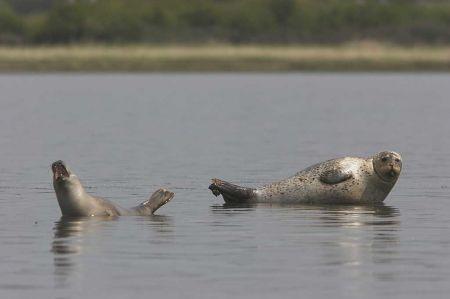 Sæler ved Egholm